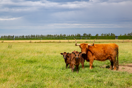 A highland cow with her calves in a field in Canterbury, New Zealand