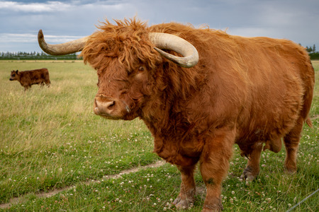 The big ginger highland bull in a field with his herd in Canterbury, New Zealand