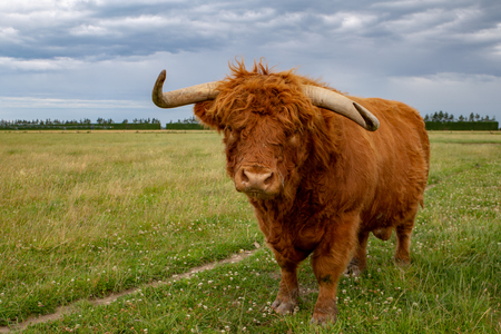 A ginger highland bull with long horns in a field in New Zealand