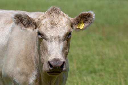 The face of a white charolais cow on a farm in New Zealand