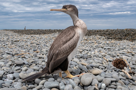 A juvenile spotted shag rests on the beach in Canterbury, New Zealand