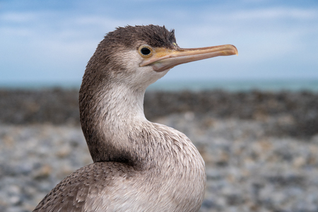 Close-up of a juvenile spotted shag resting on the beach in Canterbury, New Zealand