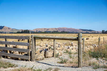 Sheep rest in a field behind a new farm fence in Canterbury, New Zealand 免版税图像