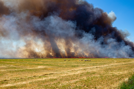 Sheep graze in the near field while the straw stubble from a barley crop is burnt next to them on a farm in Canterbury, New Zealand 免版税图像