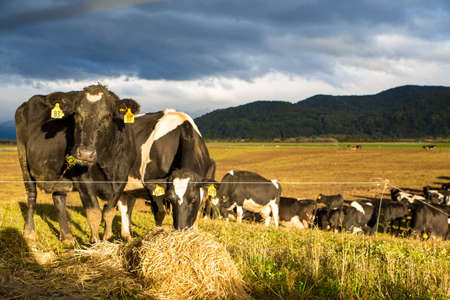 Cattle on winter feed eating straw for fibre are strip grazed on a farm in Southland, New Zealand.