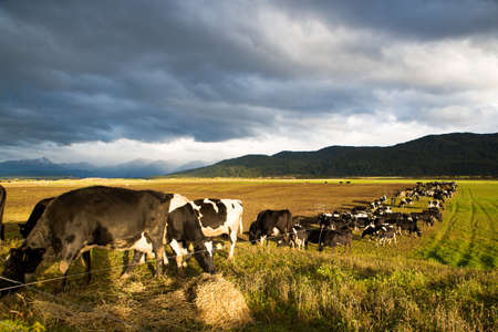 Cattle on winter feed are strip grazed on a farm in Southland, New Zealand.