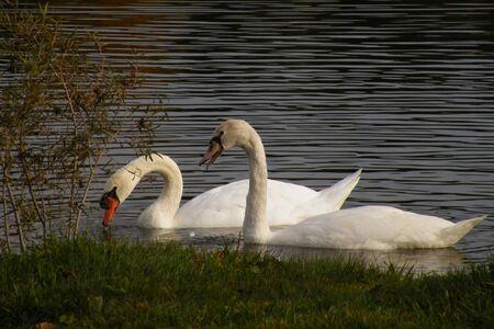 2 Swans seemingly chatting over breakfast Stock fotó