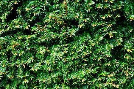 Taxus baccata, green branches of yew tree