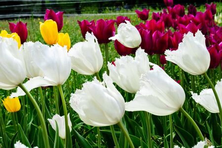 white, purple and yellow tulips on spring tulip meadow