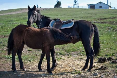 a bay foal with mother, suckling mare