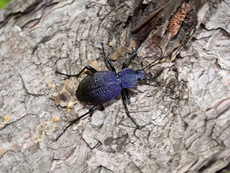 A close-up of the beetle carabus (Carabus (Procerus) tauricus) on a trunk of tree.