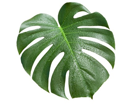 monstera leaf with water drops isolated on white background