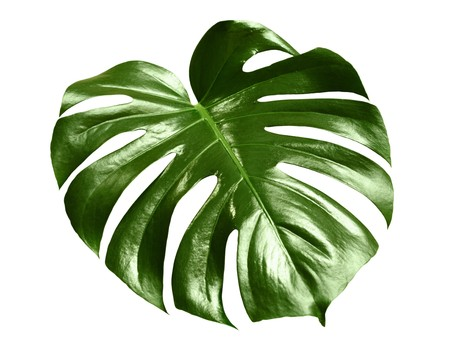 glossy monstera leaf isolated on white background Stock Photo