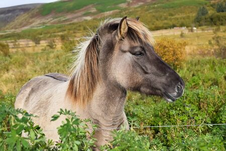 Icelandic horse on a field, close up picture, beige