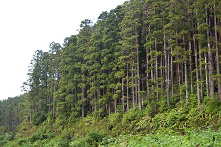 Pine woods in Portugal islands, Azores, forests