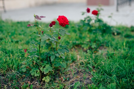 red rose on a background of green grass in the garden 1
