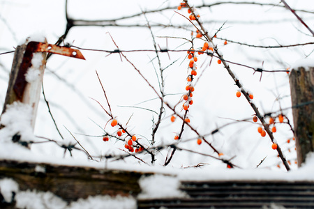 abstract winter background of snow and frozen berries 1