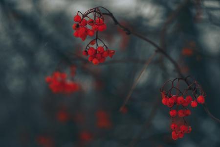 red rowan in winter on a dark background Standard-Bild - 124652981