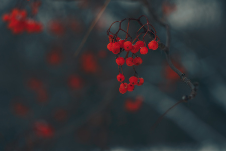 red rowan in winter on a dark background Standard-Bild - 124652982