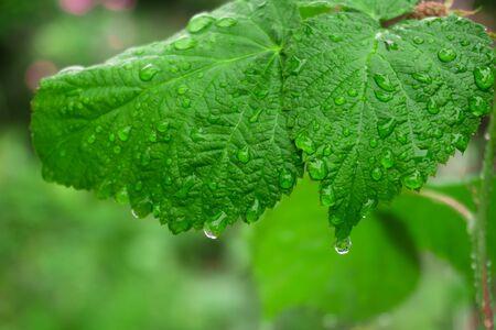 big green fresh leaf in the rain