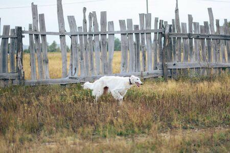 Russian greyhounds in nature, autumn dog walk Stock Photo
