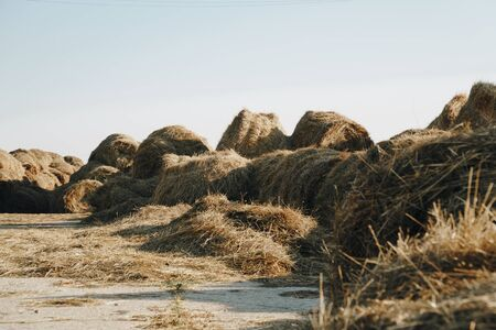 a lot of haystacks, preparing animal feed for the winter 1