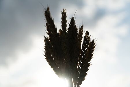 ears of wheat in backlight