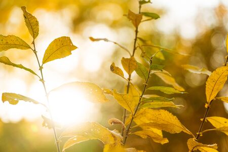 yellow autumn leaves against the setting sun Фото со стока - 132487910
