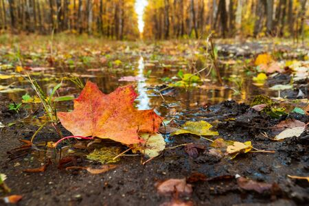 yellow maple leaf on a background of an autumn park reflected in water Фото со стока - 132487993