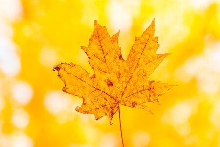 yellow maple autumn leaf on a yellow background