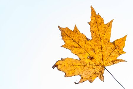 yellow maple autumn leaf on a white background Фото со стока - 132488072