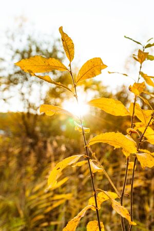 yellow autumn leaves against the setting sun