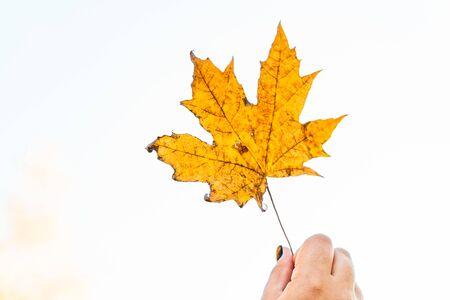 yellow maple autumn leaf on a white background Фото со стока