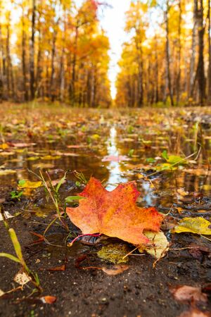yellow maple leaf on a background of an autumn park reflected in water
