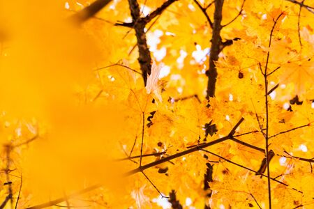 some yellow maple autumn leaves on a tree branch