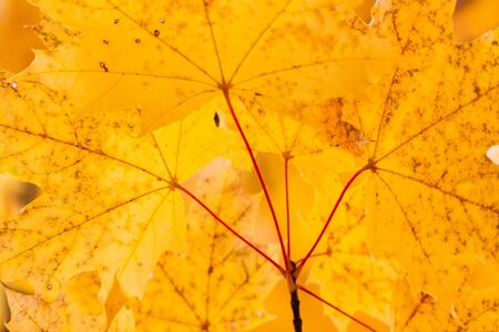 some yellow maple autumn leaves on a tree branch Фото со стока - 132489778