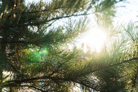 Pine needles close-up on sunset background