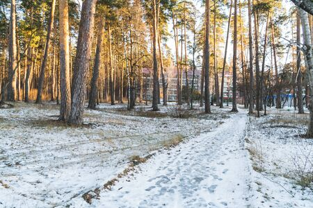 winter pine forest landscape in the setting sun