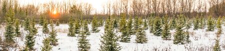 panorama young Christmas trees in winter in the setting sun 1