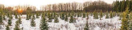 panorama young Christmas trees in winter in the setting sun 1 Фото со стока - 136862605