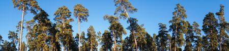 panorama of pines against the blue sky Фото со стока