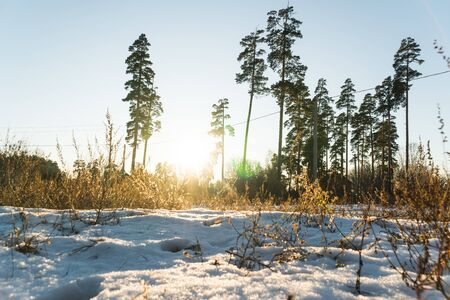winter pine forest landscape in the setting sun Фото со стока - 136863446