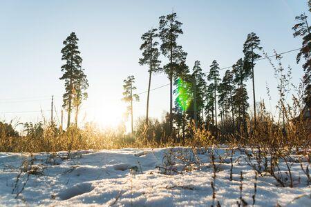 winter pine forest landscape in the setting sun Фото со стока - 136863461