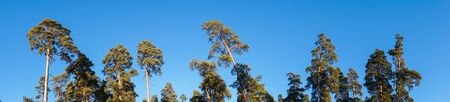 panorama of pines against the blue sky Stock fotó