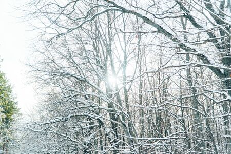 fabulously beautiful winter forest in the rays of the setting sun