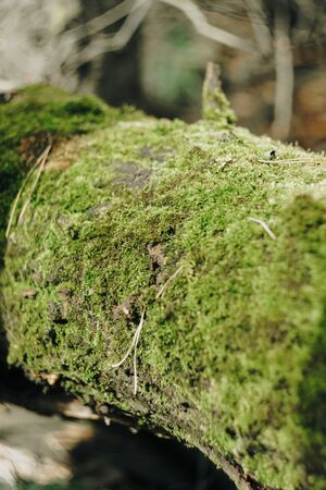 Green moss on the bark of a tree close up 1