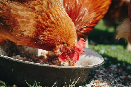 Brown domestic chicken in the summer outdoors close-up 1