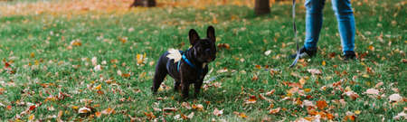 Cute French bulldog outdoors in the Park in autumn Фото со стока