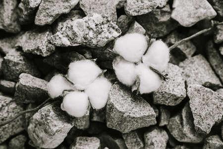 Cotton plant on a stone surface close up Фото со стока