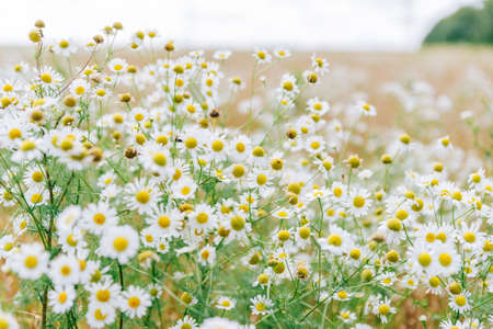 Large field with white daisies in summer Standard-Bild